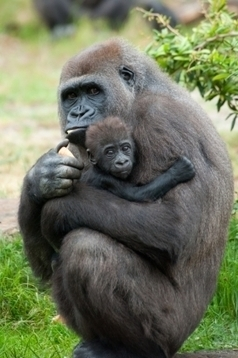 New conservation complex will protect critically endangered gorillas > International News > News | Click Green | Conservation Biology, Genetics and Ecology | Scoop.it