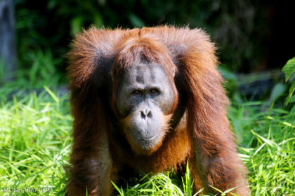 Bornean orangutan declared 'critically endangered' as forests shrink | Lorraine's Environmental Change &  Management | Scoop.it