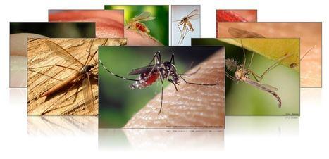 Les caractéristiques des moustiques | Institut Pasteur de Tunis-معهد باستور تونس | Scoop.it