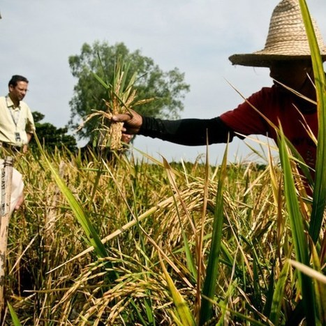 Filipino farmers destroy GM crops designed to alleviate malnutrition ... | Genetically modified food | Scoop.it
