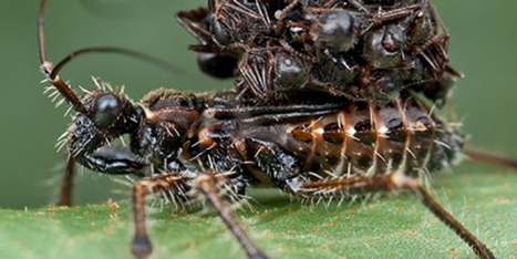 Absurd Creature of the Week: The Ferocious Bug That Sucks Prey Dry and Wears Their Corpses | Strange days indeed... | Scoop.it
