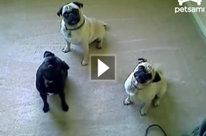 Pugs try to understand English   cute dogs   Scoop.it