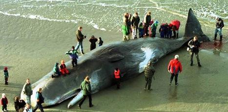 Une baleine retrouvée morte avec 20 kilos de plastique dans l'estomac (vidéo) - notre-planete.info | Chronique d'un pays où il ne se passe rien... ou presque ! | Scoop.it