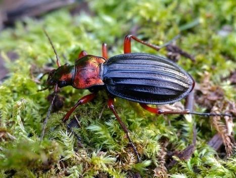 Les carabes, des insectes auxiliaires bien utiles au jardin   Les colocs du jardin   Scoop.it