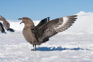 Les oiseaux de l'Antarctique menacés par la contamination au mercure - CNRS (Communiqué de presse) | Arctique et Antarctique | Scoop.it
