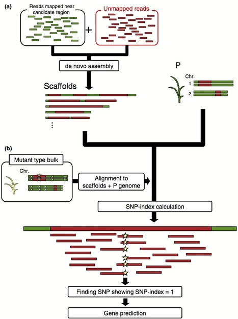 New Phytologist: MutMap-Gap: whole-genome resequencing of mutant F2 progeny bulk combined with de novo assembly of gap regions identifies the rice blast resistance gene Pii (2013) | MutMap | Scoop.it
