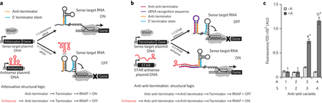 RNA that activates transcription   SynBioFromLeukipposInstitute   Scoop.it