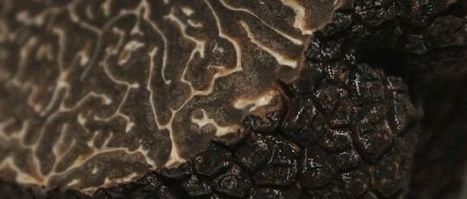 Tuber melanosporum, la saison bat son plein ! | La truffe dans tous ses états | Scoop.it