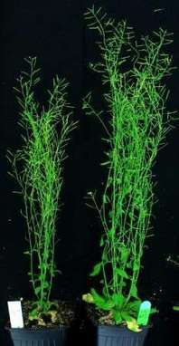 Chance finding could transform plant production | Convincingly Contrarian Crumbs | Scoop.it