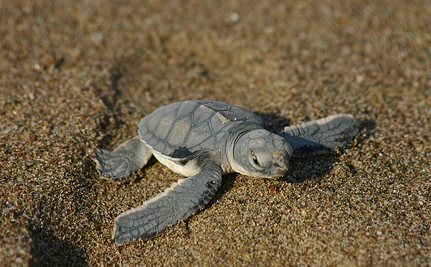 Heroic Volunteers Spend Night and Day Saving Baby Sea Turtles | Life on Earth | Scoop.it