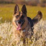 Daily Cute: German Shepherd Sings | fitness, health,news&music | Scoop.it