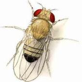 Drosophila melanogaster ayuda a identificar enfermedades humanas | Bichos en Clase | Scoop.it