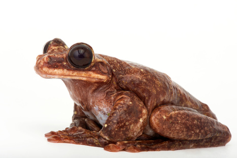 Famous Frog Toughie Dies, Sending Species to Extinction | Biodiversity protection | Scoop.it