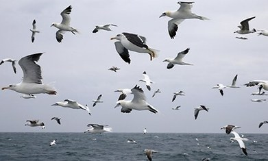 Gannet cameras shed light on birds' behaviour  - Guardian | Science, research and innovation news | Scoop.it