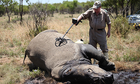 313 rhino killed in SA | Wildlife and Environmental Conservation | Scoop.it
