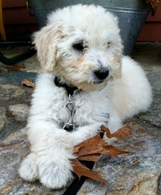 Online Dog Breeders in Rochester, Massachusetts | stepn stonefarm | Scoop.it