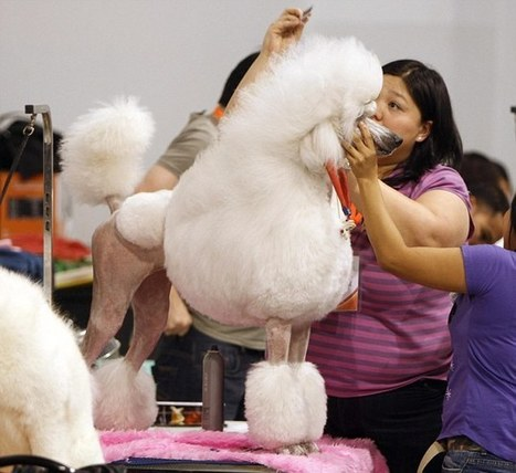 Pampered pooches get some hair-raising makeovers for Asian dog show   Ultratress   Scoop.it