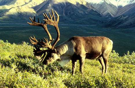 Climate Change Will Alter Fire Patterns and Caribou Distribution | Garry Rogers Nature Conservation News | Scoop.it