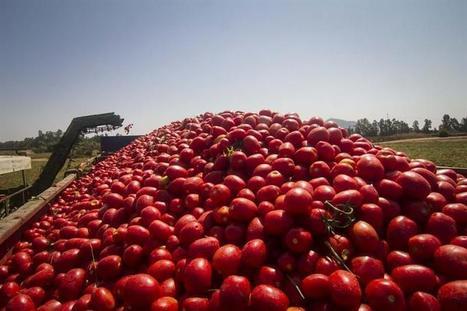 El tomate extremeño cultivado con criterios de sostenibilidad conquista el mercado internacional   Comarca Miajadas-Trujillo   Scoop.it