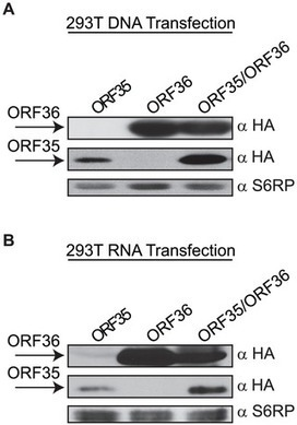 Dual Short Upstream Open Reading Frames Control Translation of a Herpesviral Polycistronic mRNA   Virology and Bioinformatics from Virology.ca   Scoop.it