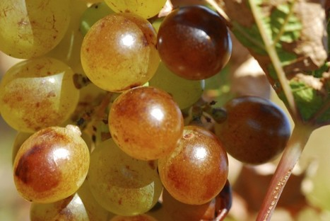 Threat to France's collection of grape varieties. Are you interested in helping? | Wine lovers unite! #winelover | Scoop.it