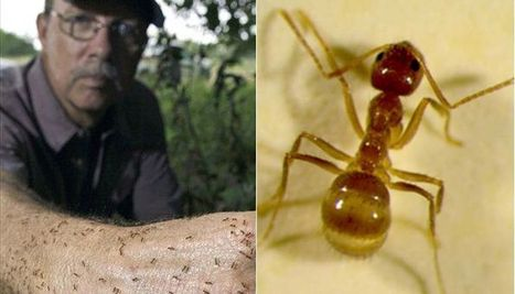 Houston braces for invasion of 'Crazy Ants' | All About Ants | Scoop.it