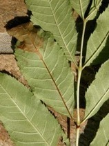 Forestry Commission: Ash dieback (Chalara fraxinea) in the UK (2012) | Plants and Microbes | Scoop.it