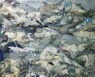 Vietnamese man charged for killing 4,000 rare turtles for souvenir business - VnExpress International | Endangered Species News | Scoop.it