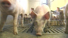 En Angleterre, une commune chasse les jeunes turbulents avec des excréments de cochons | Mais n'importe quoi ! | Scoop.it