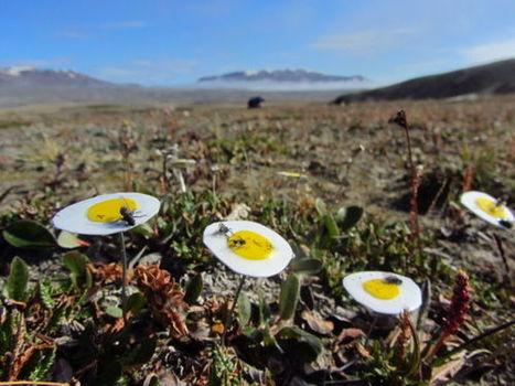Les mouches sont les pollinisateurs-clés de l'Extrême-Arctique   EntomoNews   Scoop.it