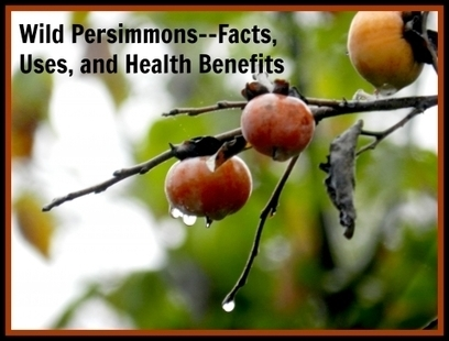 Wild Persimmons--Facts, Uses and Health Benefits | Ancient history of Southern Foods | Scoop.it