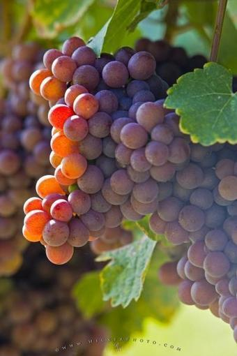 Gewurztraminer Grapes Fruit Picture | Photo, Information | Digital-News on Scoop.it today | Scoop.it