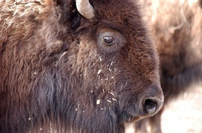 How the bison, once nearing extinction, lived to become America's national mammal   grants   Scoop.it