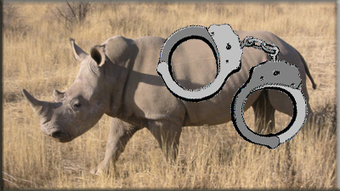 Two suspected rhino poachers escape from police cells - South African Broadcasting Corporation | Kruger & African Wildlife | Scoop.it