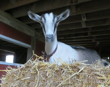 Why farming changed the way I eat, part three - Farm and Dairy | Raising Goats | Scoop.it