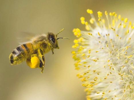 Les plantes préférées des abeilles dans votre jardin ! | Jardinage | Scoop.it
