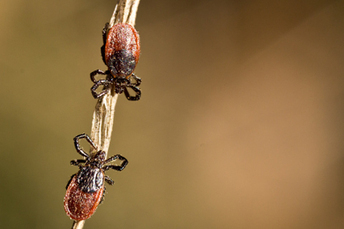 Stanford study says ticks may cause double trouble | Natural Health | Scoop.it
