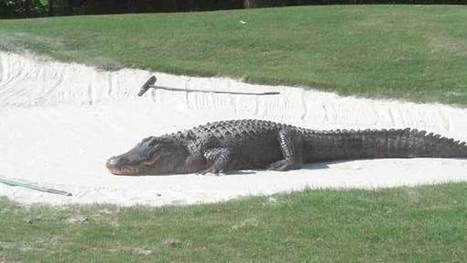 Video surfaces of RTJ golf course's big alligator | Funny Stuff From Alabama | Scoop.it