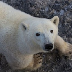 Will Polar Bears Die Out Because of Climate Change? | Sustain Our Earth | Scoop.it