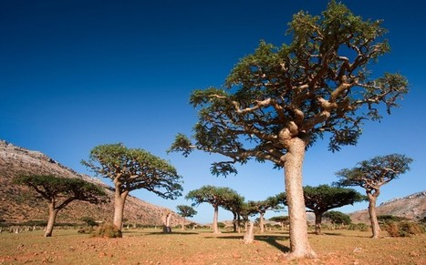 What will save the frankincense tree? - Telegraph   Annie Haven   Haven Brand   Scoop.it