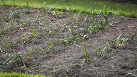 Jardin. Combattre le ver du poireau | Les colocs du jardin | Scoop.it