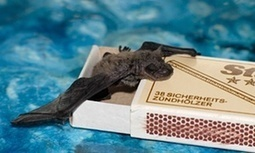 100 years ago: The mystery of bat chatter - The Guardian | Bat Biology and Ecology | Scoop.it
