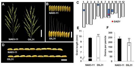 GAD1 Encodes a Secreted Peptide That Regulates Grain Number, Grain Length and Awn Development in Rice Domestication | Emerging Research in Plant Cell Biology | Scoop.it