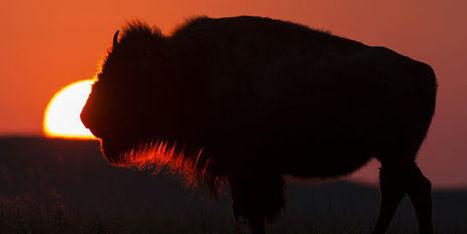 Un bébé bison euthanasié après avoir été touché par des touristes mal avisés à Yellowstone | Chronique d'un pays où il ne se passe rien... ou presque ! | Scoop.it