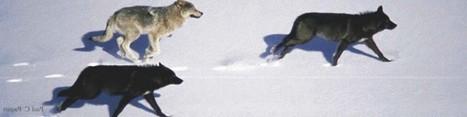 Experimental wolf cull in Alberta ignites scientific criticism over inhumane research   GarryRogers Biosphere News   Scoop.it
