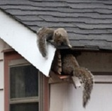 Squirrel Removal Information | Chimney & Fireplaces | Scoop.it