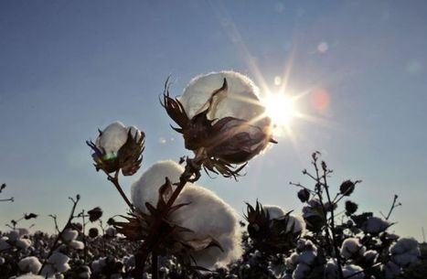 DROUGHT: Weather wipes out half of West Texas' cotton acres   Sustain Our Earth   Scoop.it
