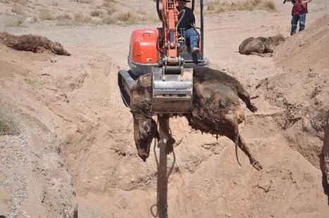 PHOTO: BLM killed and buried #BundyRanch cows (graphic photo) | Criminal Justice in America | Scoop.it