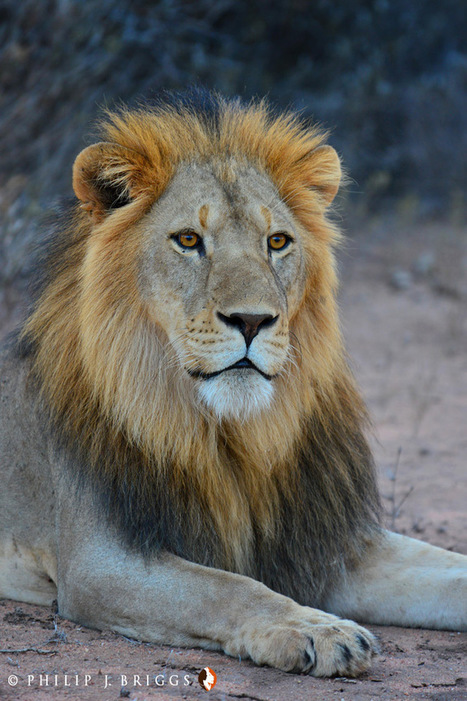 Proving the Exception: Coexistence between human and lions is possible | Conservation Success | Scoop.it