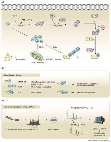 Advances in characterizing  ubiquitylation sites by mass spectrometry | Mass Spectrometry Geekery | Scoop.it